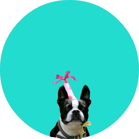 boston terrier party girl