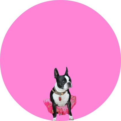 boston terrier pink bubble