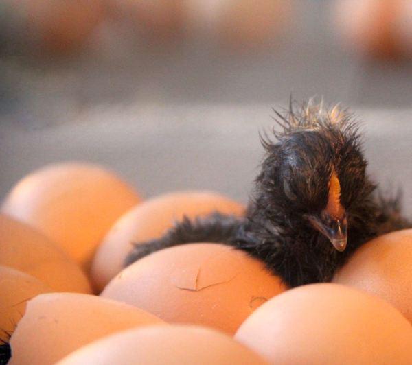 nature challenge eggs